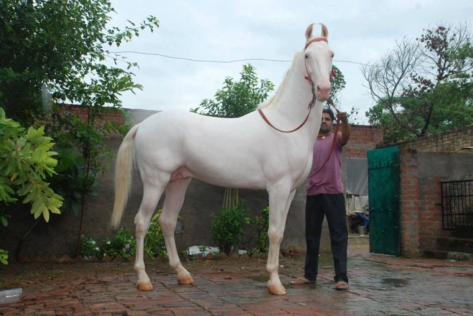Great looking horse in Punjab Pakistan | Pakistan