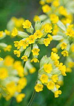 The cowslips (primula veris) are in bloom.  I have discovered that they crossed with some of our regular perennial primulas, and there is a new stand of plants that flowers with a more open yellow flower with a brownish red center.  (May 11, 2012)