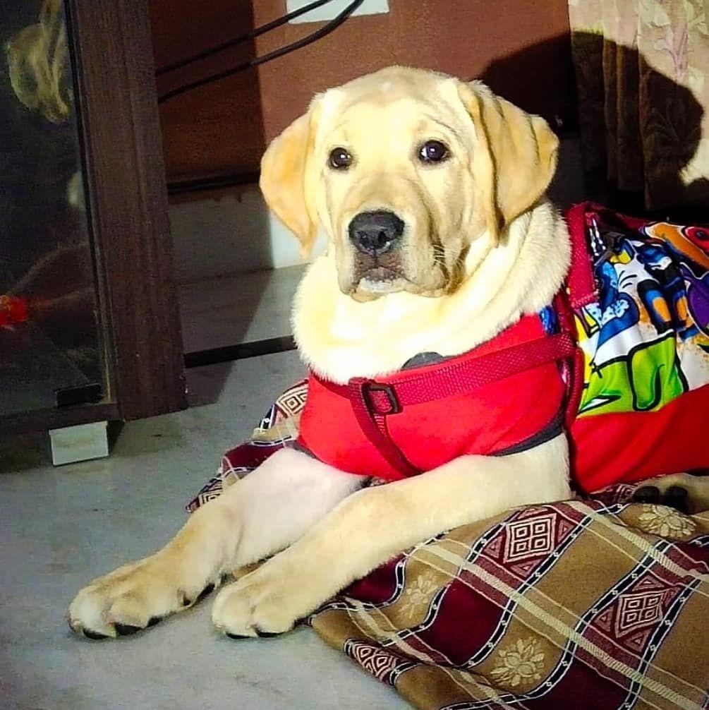 Hey Instagram Labrador Puppy Dogs 5montholdlabrador