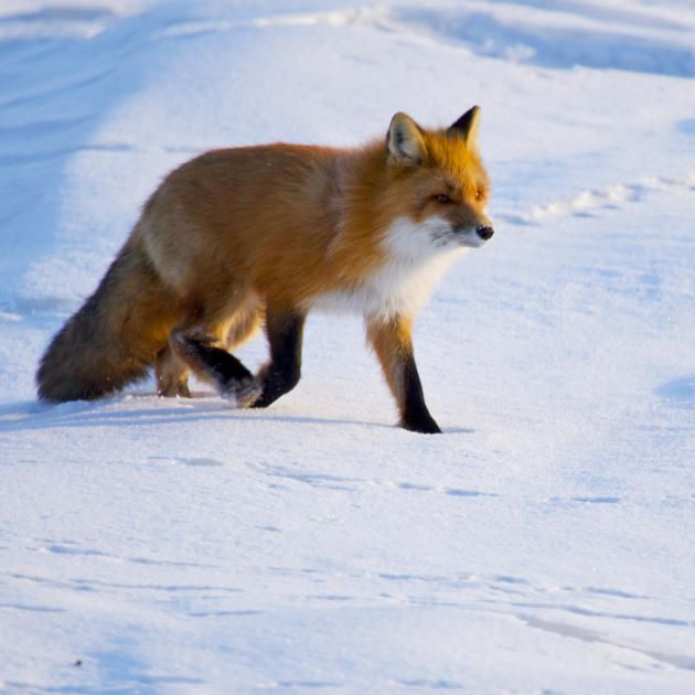 Fox Dives Headfirst Into Snow, but he almost always comes up empty handed unless he is facing north.
