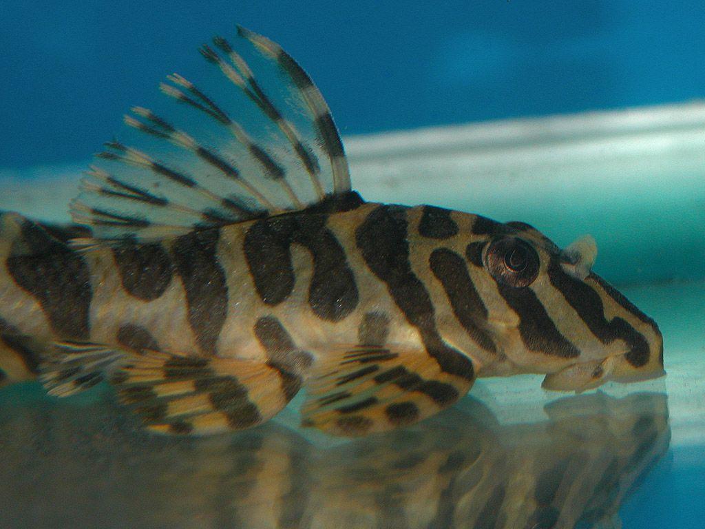 Freshwater aquarium fish gobiidae - Clown Pleco Algae Fish Grows Up To 4 So Great In Smaller Tanks Of Freshwater Aquarium