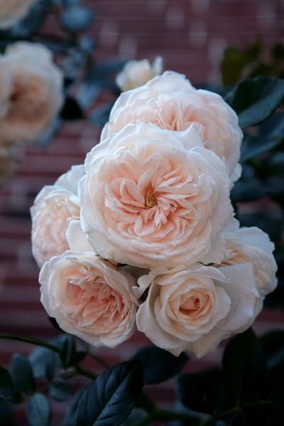 Rosa Climber Honeymoon Regan Nursery