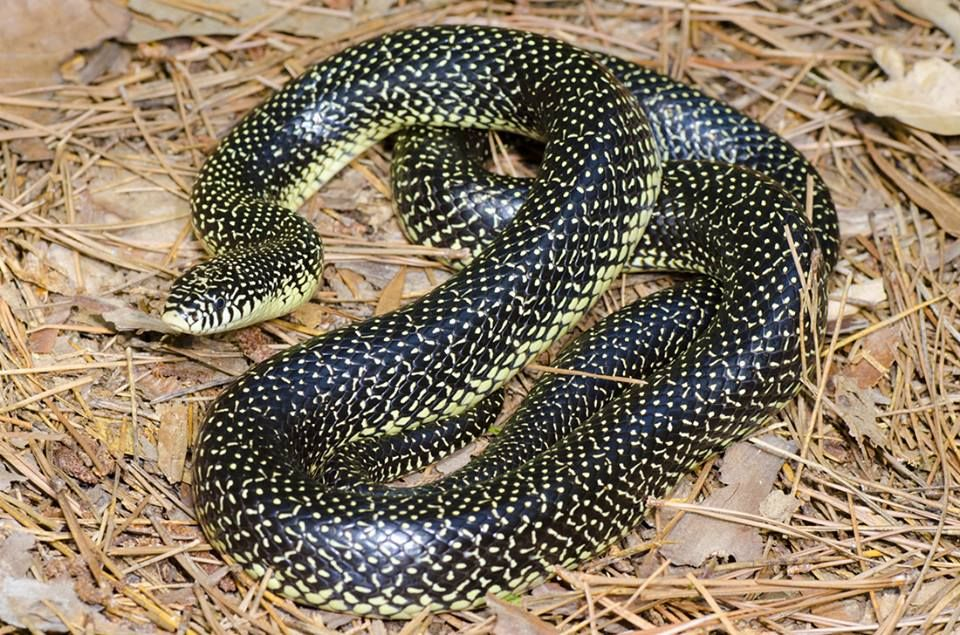 Please do not kill this snake-speckled king snake ( good snake) this snake eats other snakes non venomous