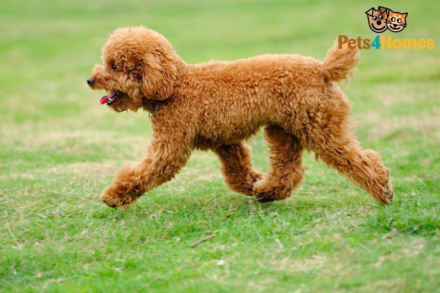 Toy Poodle Sheep Dog Puppy Poodle Dog Toy Poodle