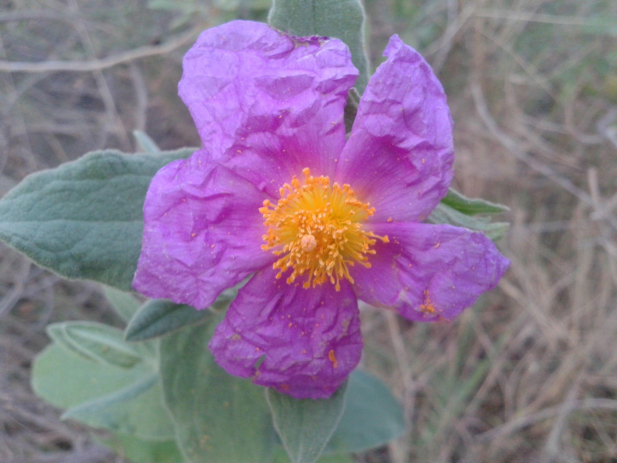 En Oropesa, esta flor es muy abundante por la costa.
