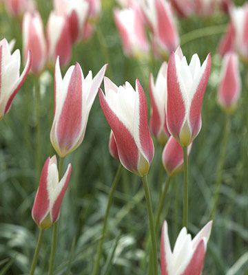 Top Tulips That Come Back Every Year Tulips Showy Flowers Beautiful Flowers