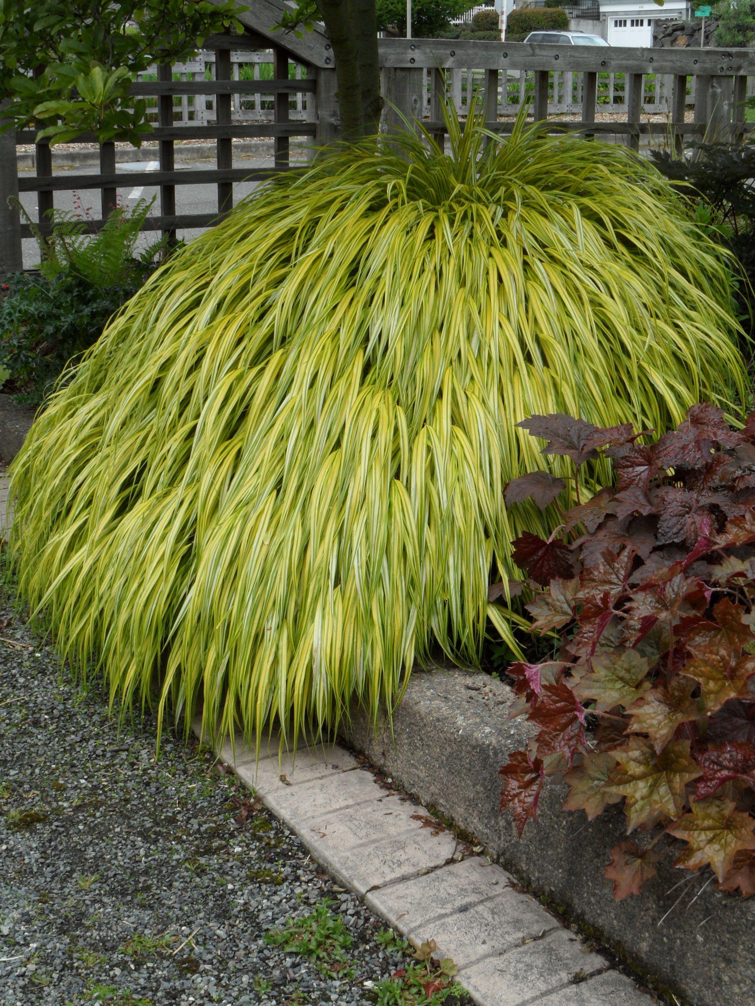 Hakonechloa macra 39 aureola 39 japanese forest grass love for Dark ornamental grasses