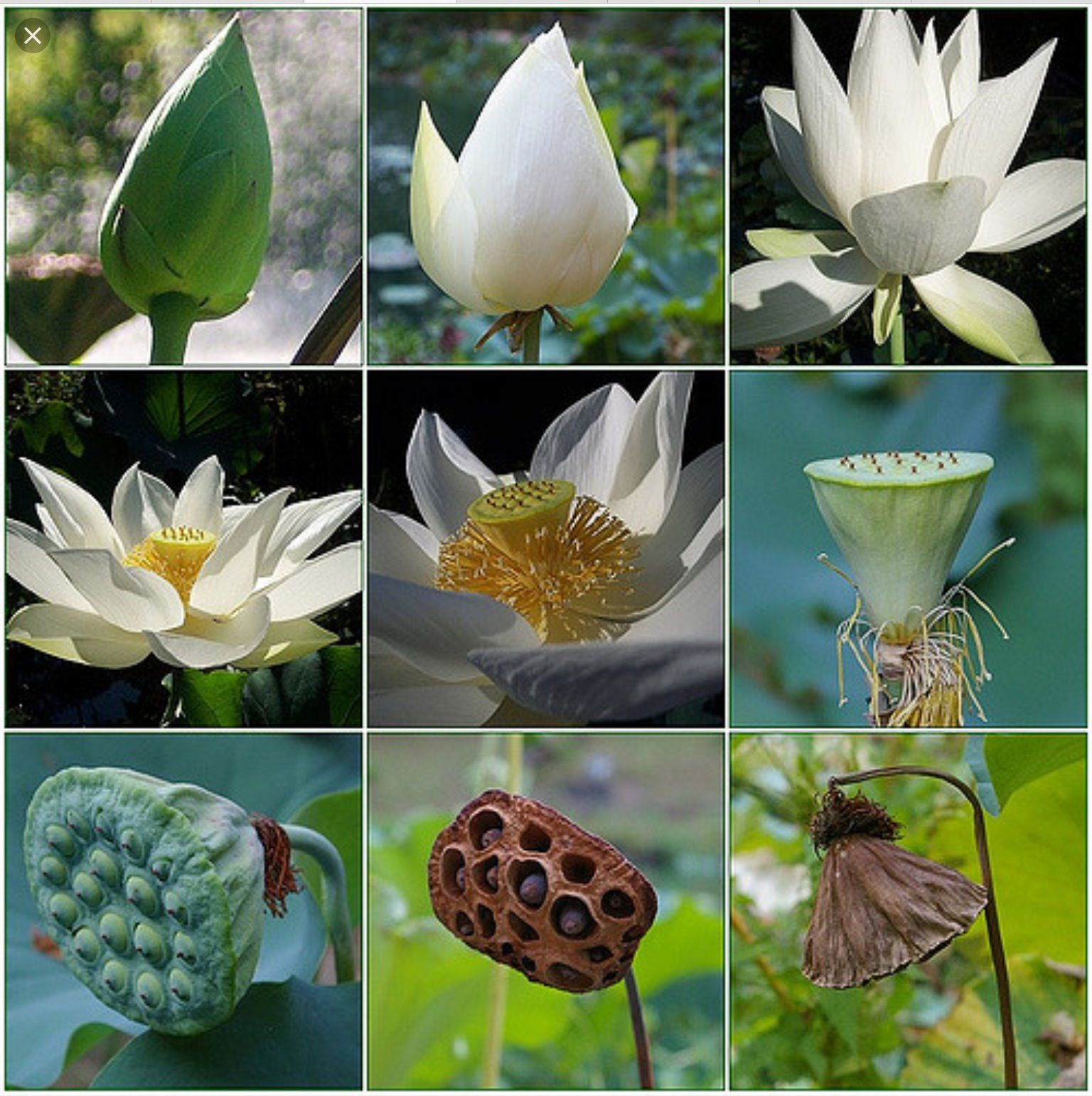 Stages Of The Lotus Flower Amazing In 2019 Lotus Plant Flowers
