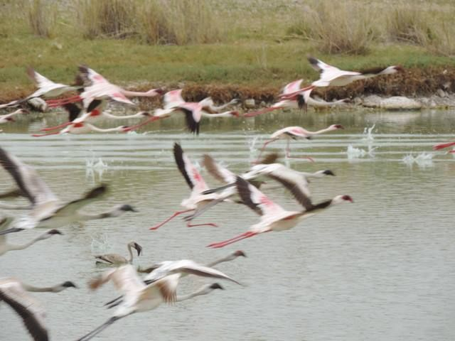 They made the lake beautiful,..Flamingoes.