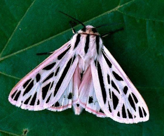 Pin Von Salome R Auf Animals Tiger Moth Schmetterling Insekten