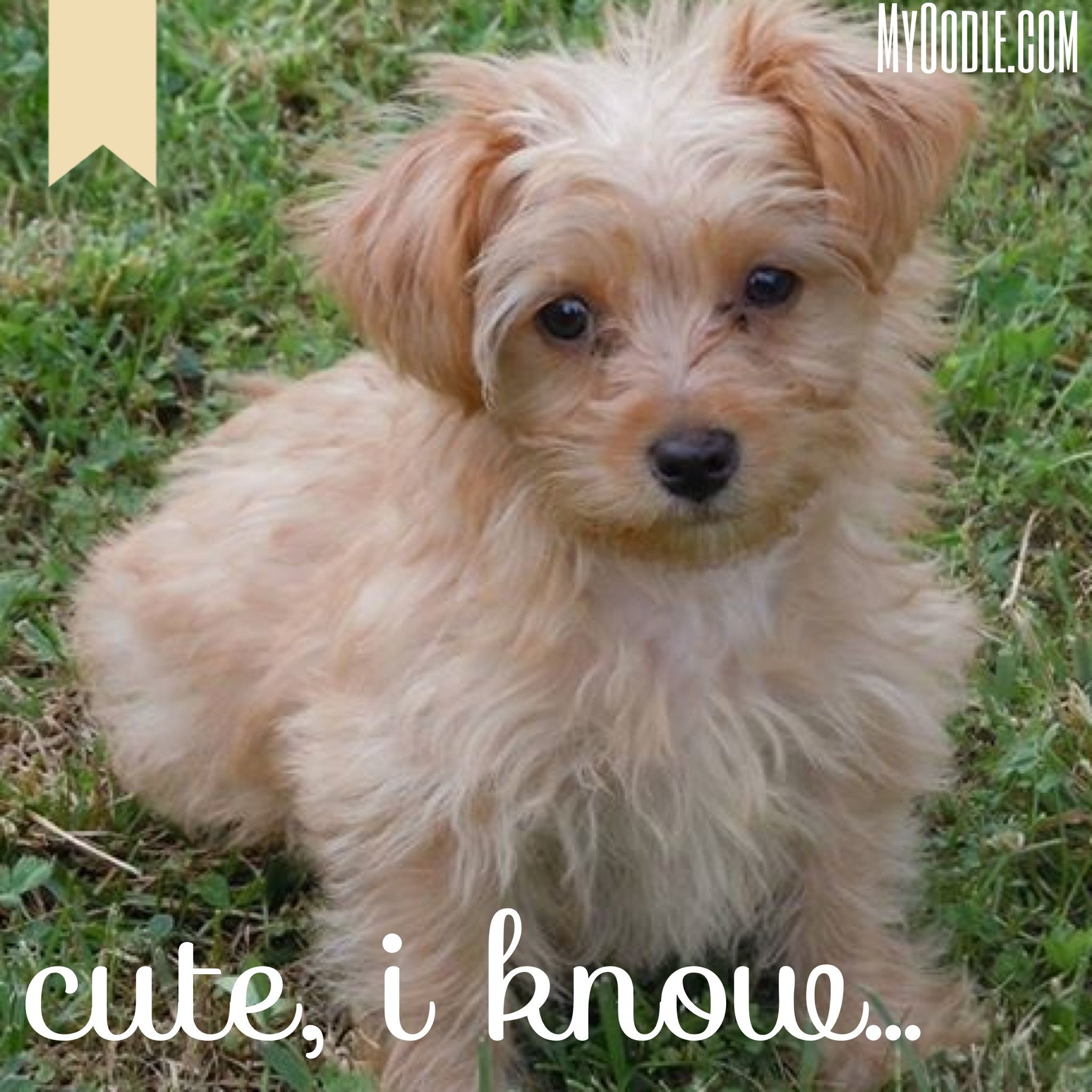 Pin By Becky Loyall On Myoodle Com Yorkie Poo Maltipoo Puppy Funny Animals