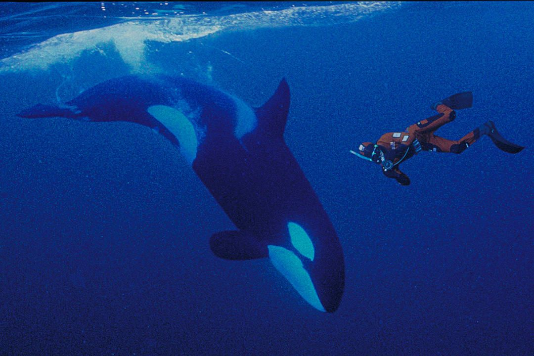 Dive With Orcas