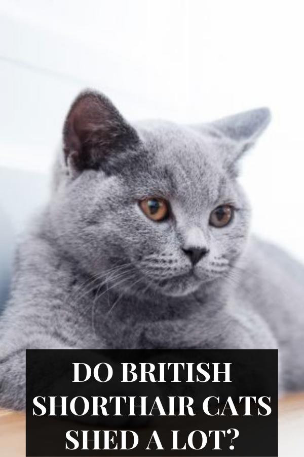 British Shorthair sheds less than the British Longhair