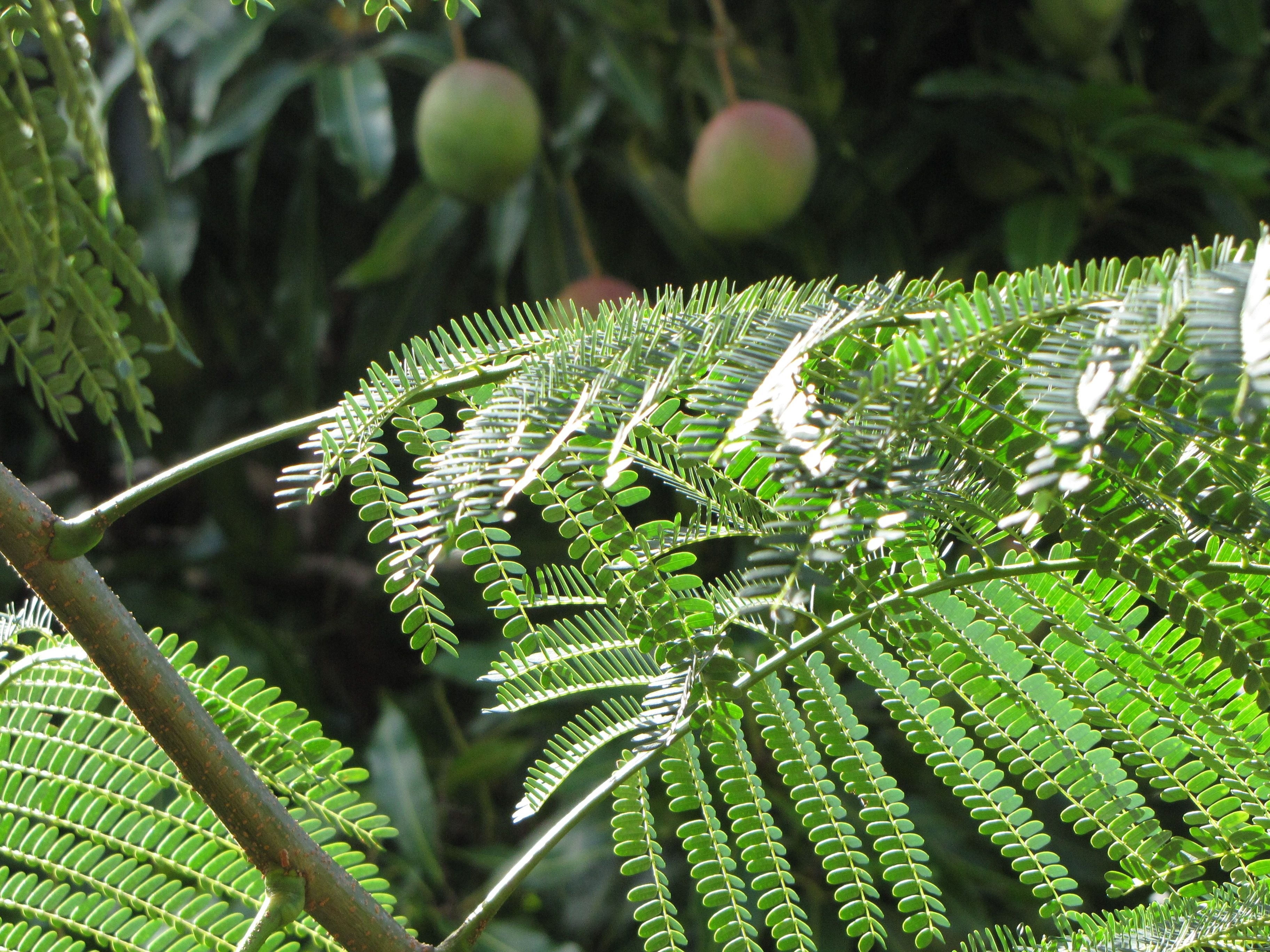 Mango Growing In The Rainforest At Romney Manor In St