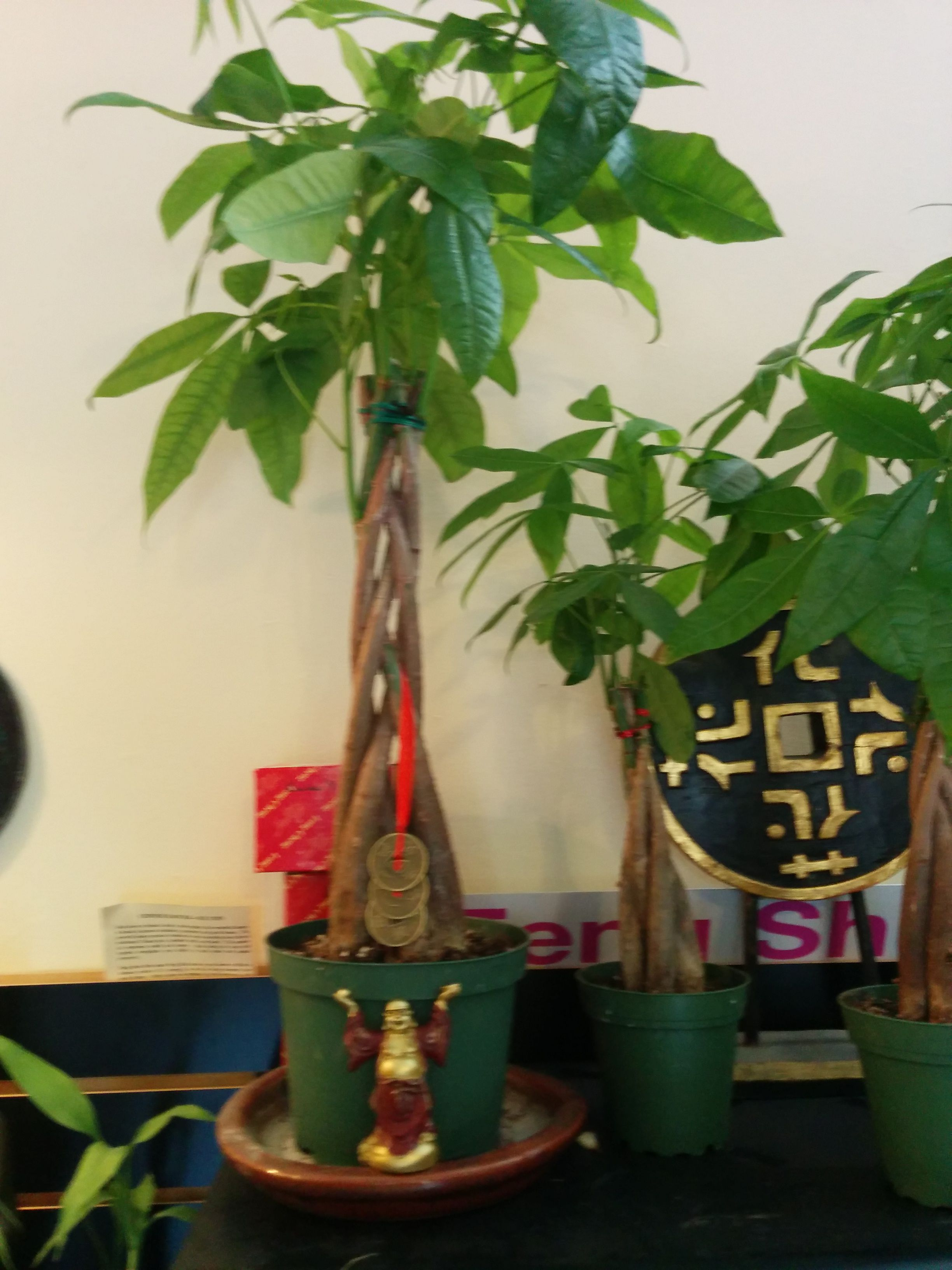 #Fengshui Cure For Wealth Place A Money Tree, Coins, And