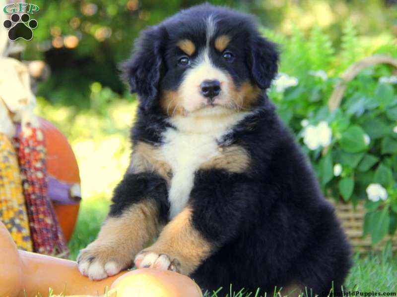 Bernese Mountain Dog Puppies For Sale In Pa Love These Dogs