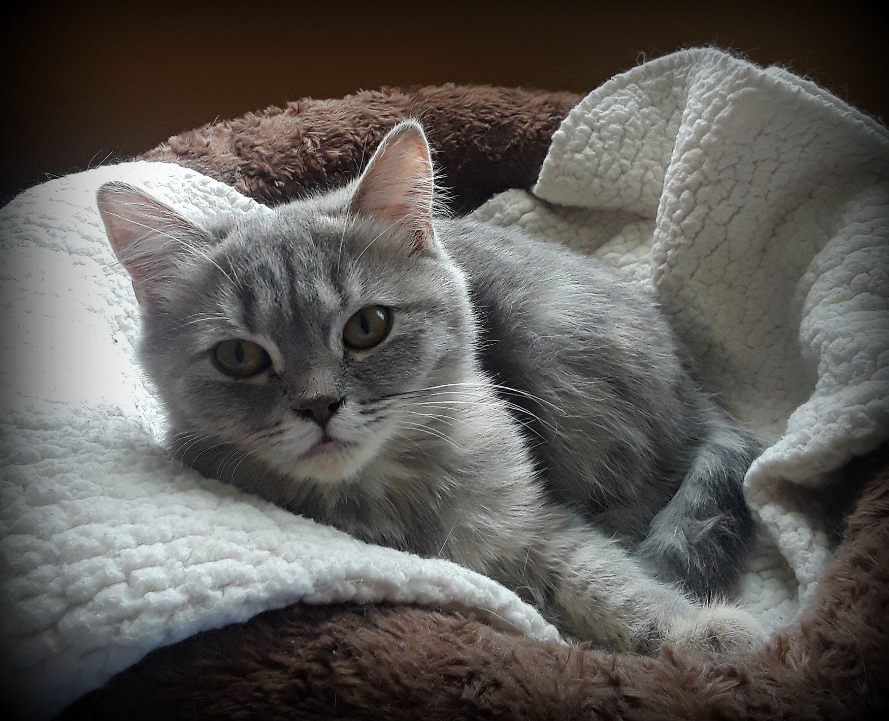 Adopt DODI on Purebred cats, British shorthair, Cats