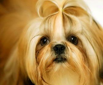 Small Long Haired Dog Breeds With Shih Tzu Small Long Haired Dog Breeds Dogs Shih Tzu Shih Tzu Puppy Shih Tzu Dog
