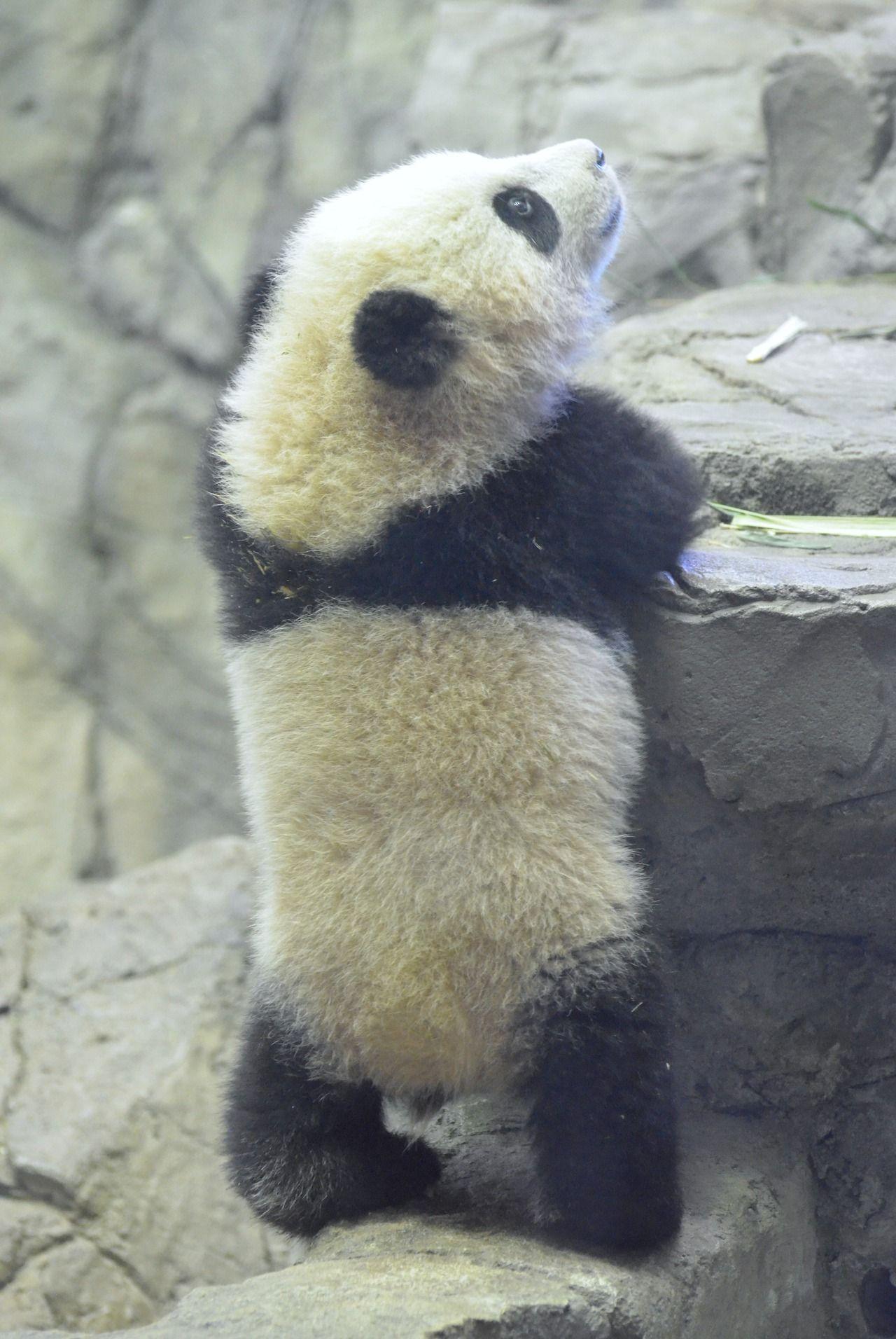 Pin By Morgana Himmelgrau On Animals Bears Panda Bao Bao Animals Beautiful Cute Baby Animals Panda Bear