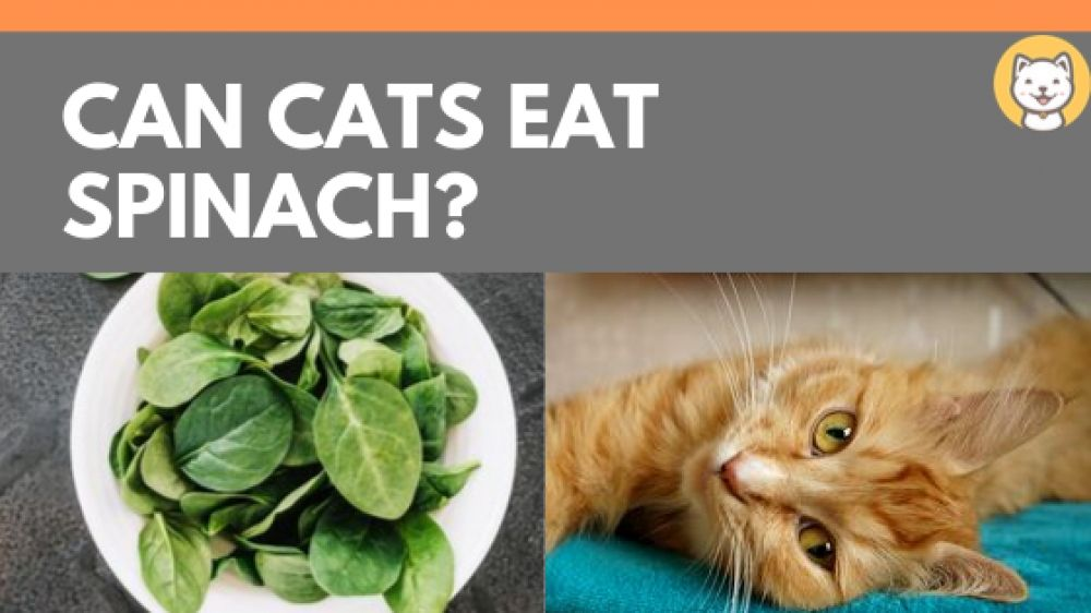 Can cats eat spinach benefits of spinach for cats