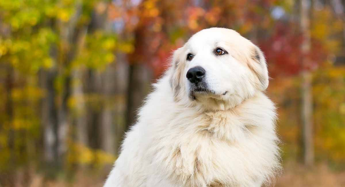Great Pyrenees A Complete Guide To The Beautiful Mountain Breed