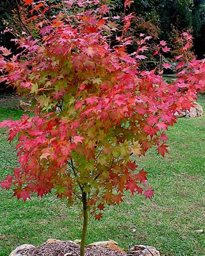 Satsuki beni japanese maple garden pinterest for Japanese trees for landscaping