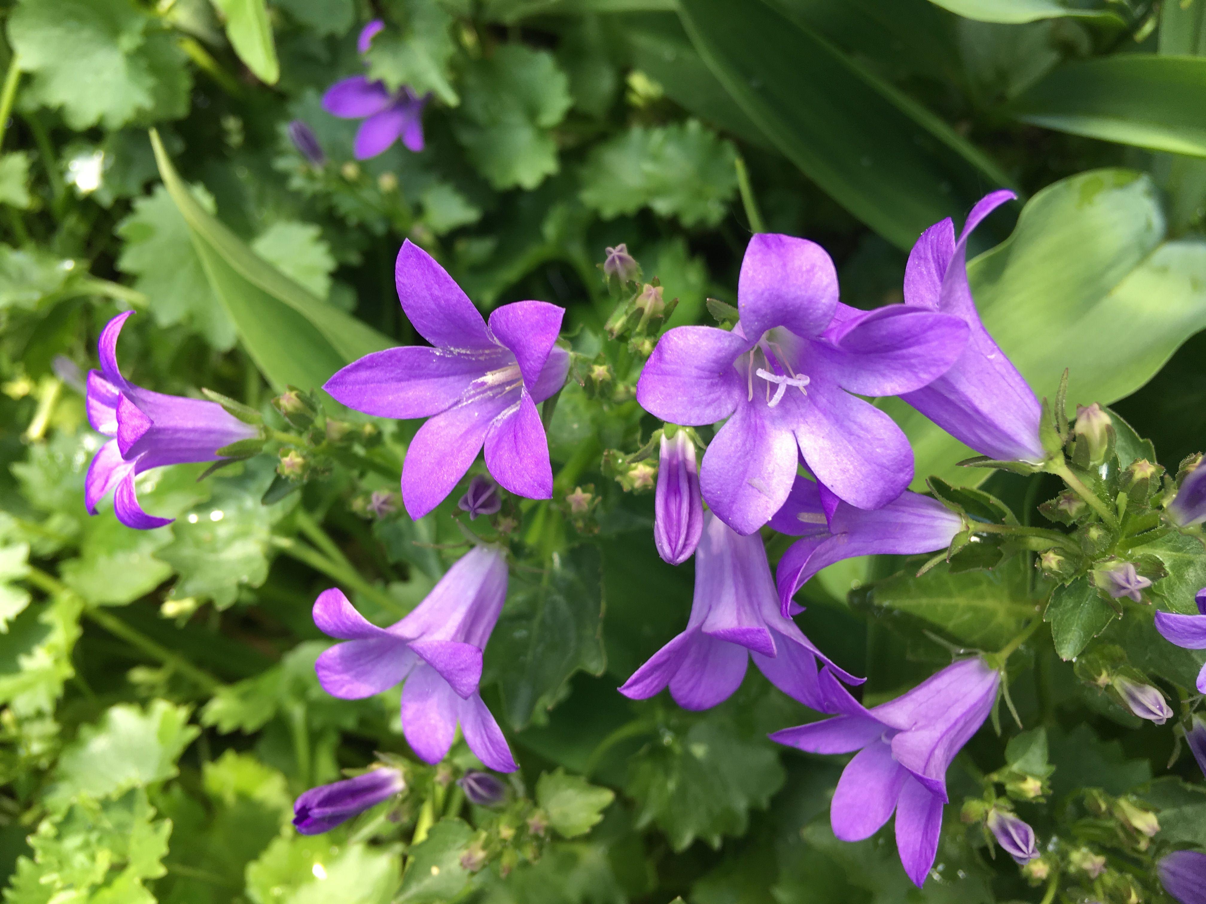 Campanula Or Bellflower Symbol Of Gratitude In The Language Of Flowers Language Of Flowers Flowers Bellflower