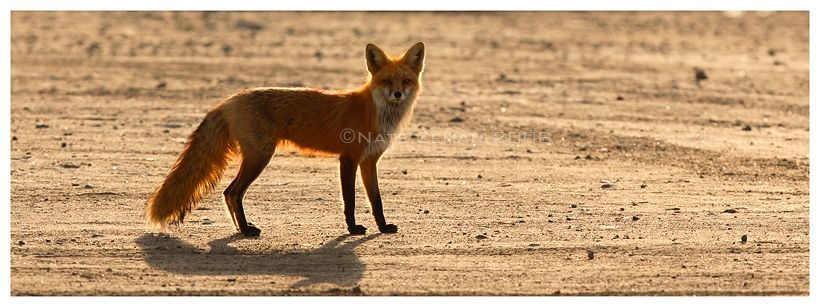 Another Fox by Nate-Zeman