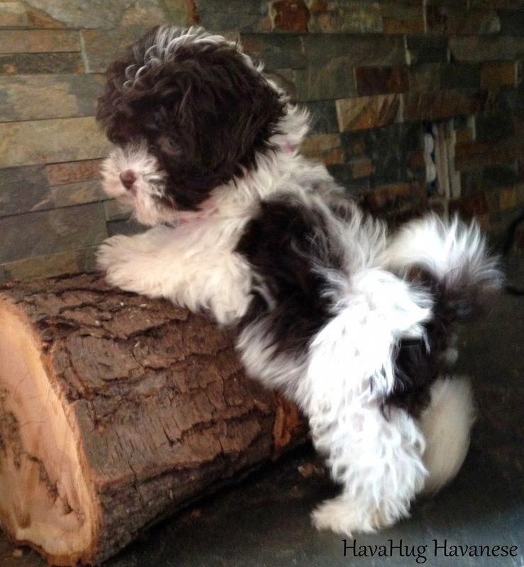Facts On The Cheerful Havanese Pups Temperament