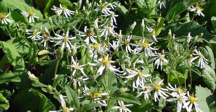 Aster macrophyllus 'Albus' op vasteplant.be