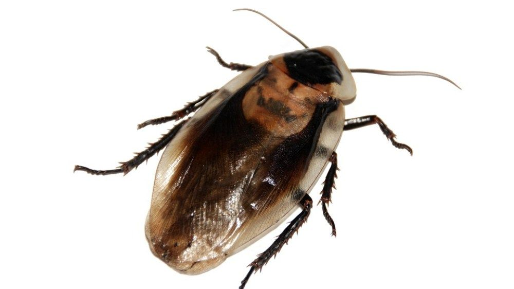 Scientists Think Cockroach Milk Could Become A Health Food Craze