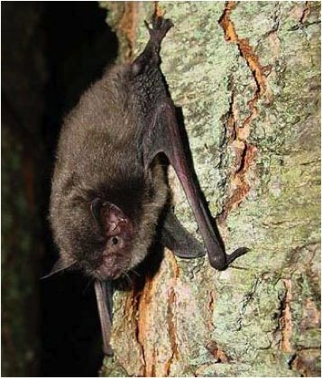 Indiana Bats Are Small And Greyish Brown With Sort Of A Matte Finish To