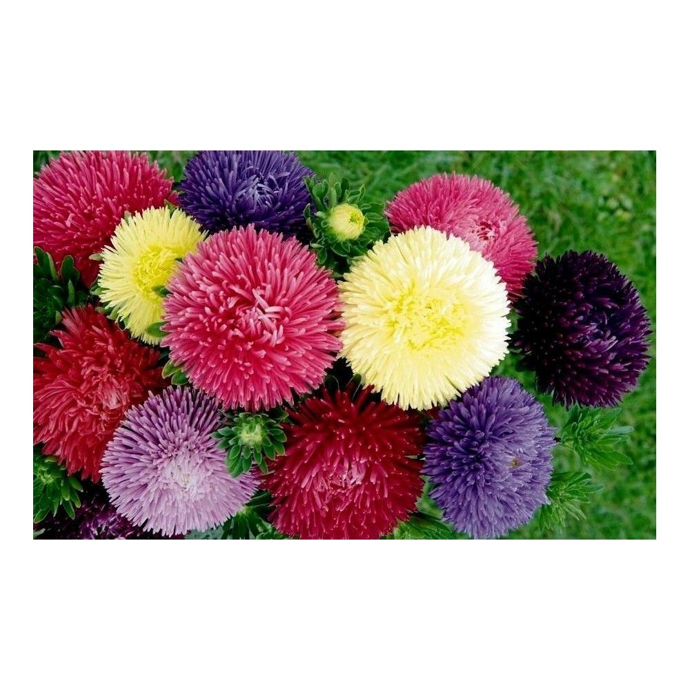 China Aster Seeds 195 China Aster Seeds Price For Package Of 100