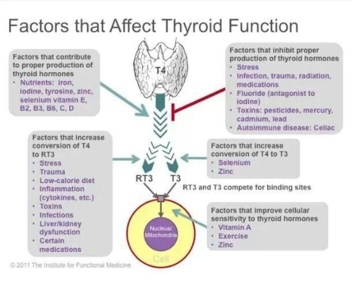 take care of your thyroid the purpose of your thyroid gland is to, Human Body