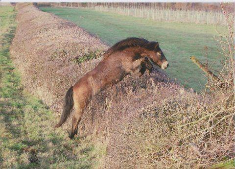 003 Exmoor pony gelding Tippbarlake William deserves to be in