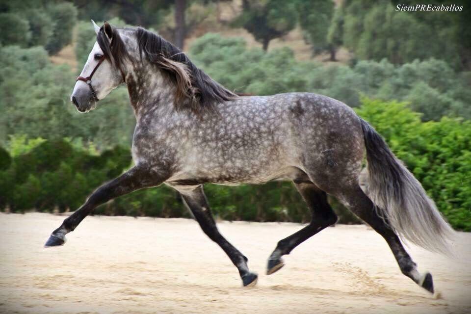 Dapple Grey Horse Trot Stallion Gelding Mare Spanisches Pferd