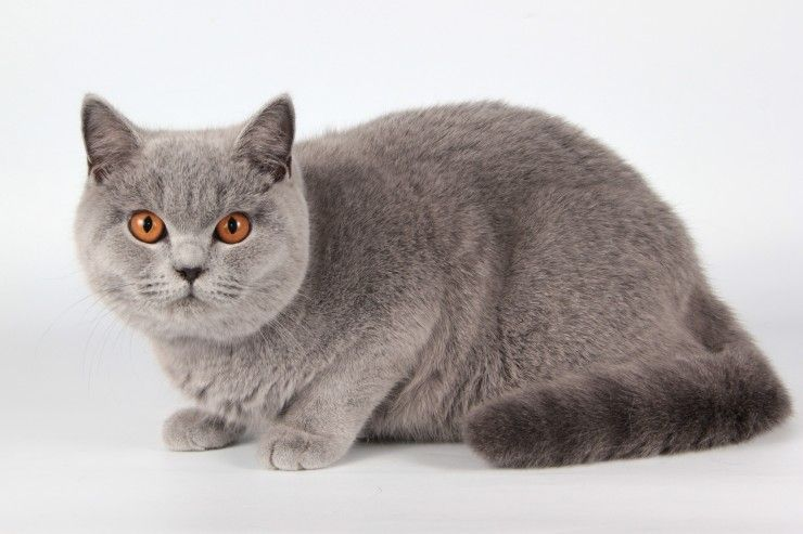 British Shorthair Cat Breed Cat breeds, British