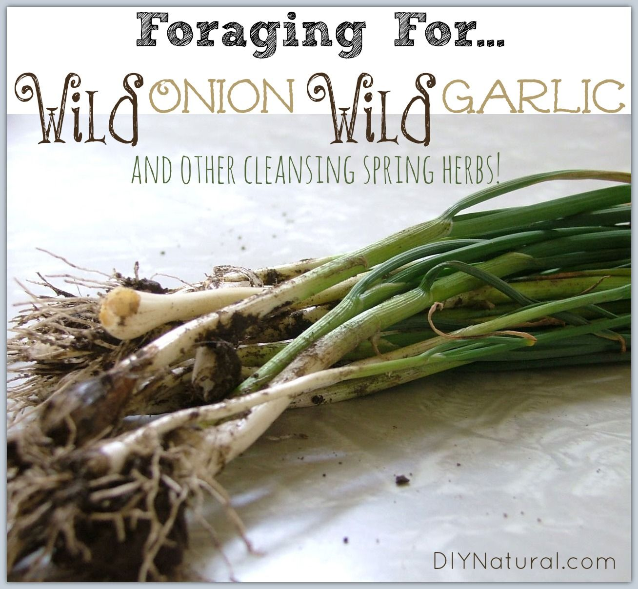 foraging wild onion wild garlic and other cleansing spring