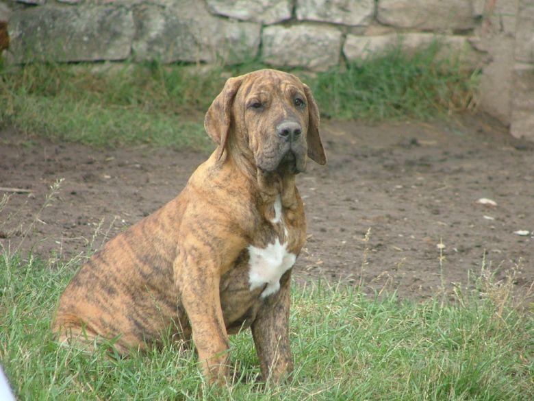 Puerto Rican mastiff | Majestic animals, Pet dogs, Animals