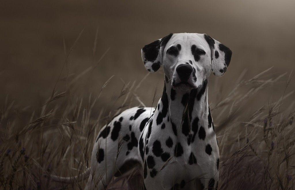 Dalmatian Dog Grass Spotted Wallpaper