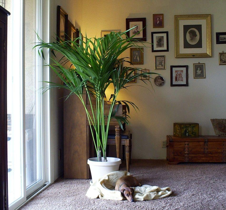 Kentia las mejores plantas de interior adorno floral pinterest mejores plantas de - Las mejores plantas de interior ...