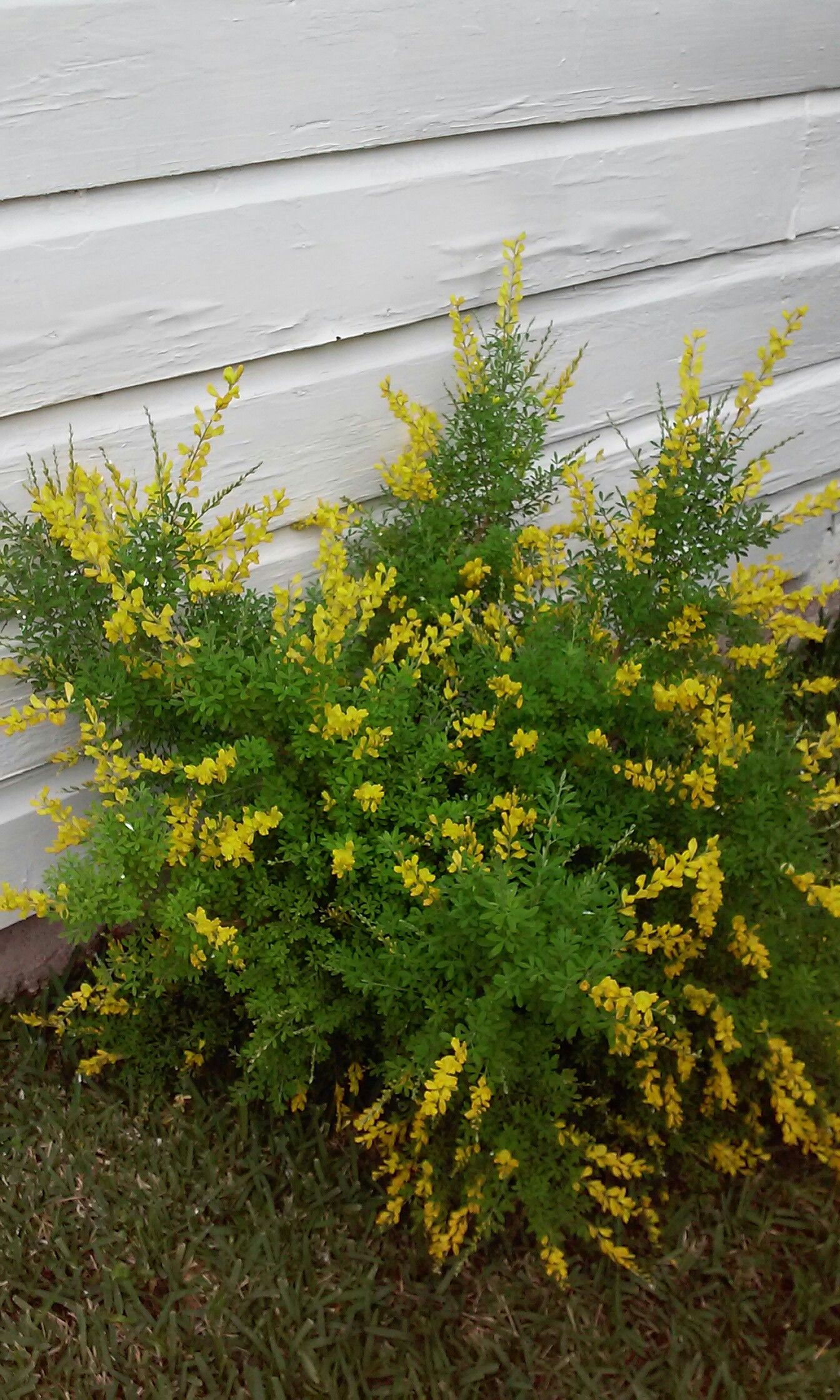Witches Broom Plants Witch Broom Flowers