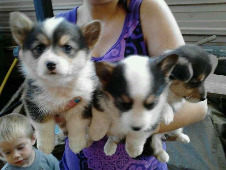Corgi Puppies For Sale In Bosque Farms Nm Shots And Wormed 350
