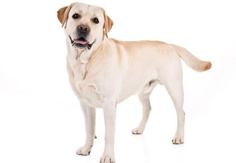 Dog Diseases Dog Conditions And Diseases Are A Very Widely Studied Area In Veterinary Medicine Labrador Retriever Most Popular Dog Breeds Friendly Dog Breeds