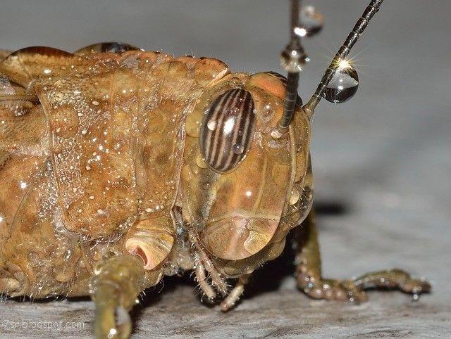 صور الجراد معلومات عن الجراد Animals Pictures Moth