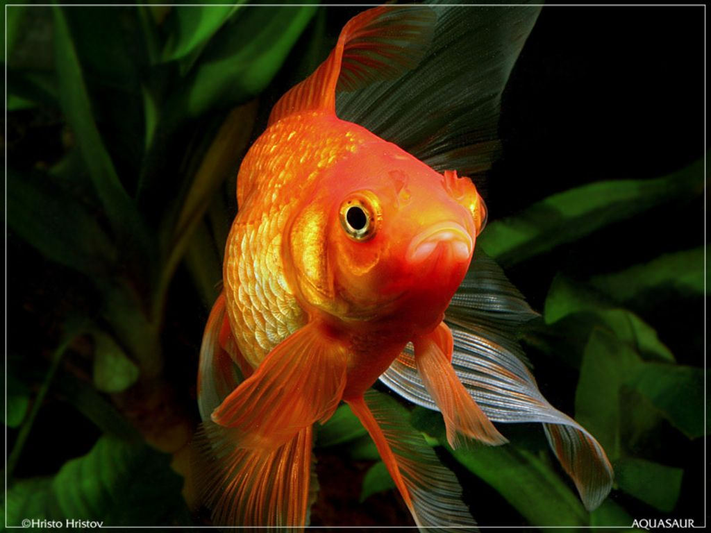 cute goldfish wallpaper - Google Search | Marine world
