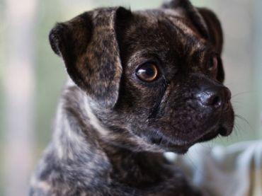 Compare Dog Breeds Puggle Vs Jug Detailed Info On Temperament