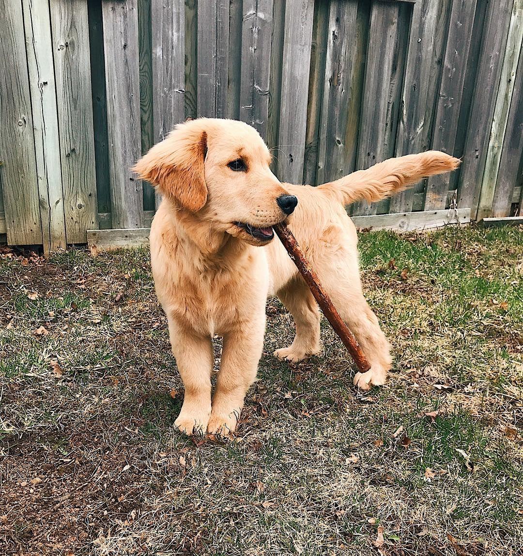 Hudson Dogs Golden Retriever Baby Dogs
