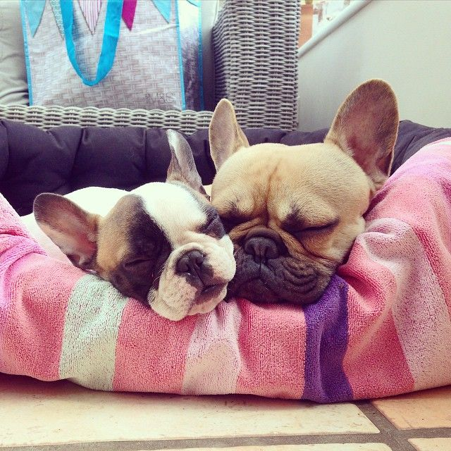 Snuggle Brothers French Bulldog Puppies Pug Puppies Puppies