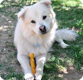 San Rafael Ca Samoyed German Shepherd Dog Mix Meet Einstein A